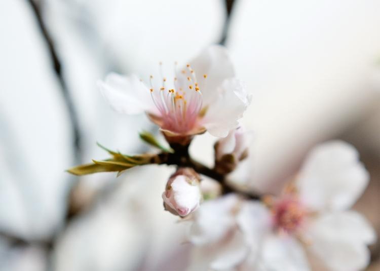 cherry-blossom-branch-flowers-spring-viggosmama-3