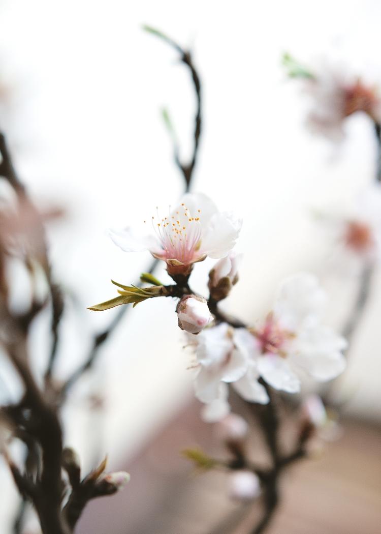cherry-blossom-branch-flowers-spring-viggosmama